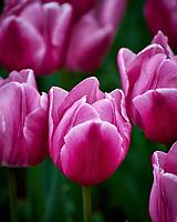 Pink tulips. Tulip festival at Keukenhof Gardens in Lisse, Netherlands. Image taken with a Nikon D4 camera and 80-400 mm VR lens.
