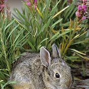 Mountain Cottontail (Sylvilagus nuttalli) bunny feeding on clover in the foothills of the Bridger Mountains in Montana.