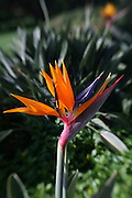 Bird of Paradise, Flower<br />