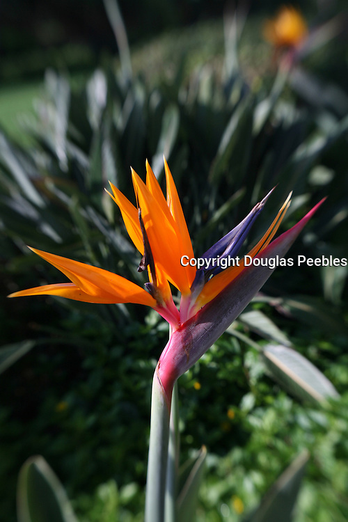 Bird of Paradise, Flower<br />