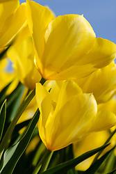 Tulpen geel, Tulipa spec, yellow tulips, Holland, Netherlands