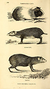 from General zoology, or, Systematic natural history Vol 2 Mammalia, by Shaw, George, 1751-1813; Stephens, James Francis, 1792-1853; Heath, Charles, 1785-1848, engraver; Griffith, Mrs., engraver; Chappelow. Copperplate Printed in London in 1801 by G. Kearsley