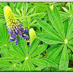 """Morning dew on lupine in a Portsmouth, New Hampshire garden. iPhone photo - suitable for print reproduction up to 8"""" x 12""""."""