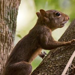 Caxinguelê (Guerlinguetus ingrami) fotografado na Reserva Biológica de Sooretama em Linhares, Espírito Santo, Brasil. Registro feito em 2013 <br /> <br /> ENGLISH: Brazilian squirrel photographed in Sooretama Biological Reserve in Linhares, Espírito Santo, Brazil. Picture made in 2013.