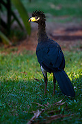 Parauapebas_PA, Brasil...Floresta Nacional de Carajas em Parauapebas, Para. Na foto Mutum-de-Penacho (Crax Fasciolata)...The Carajas National Forest, Para. In this photo the Bare Faced Curassow (Crax Fasciolata)...IMAGENS: JOAO MARCOS ROSA / NITRO..