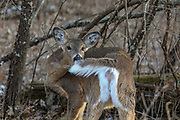 Whitetail Doe in Wooded Habitat