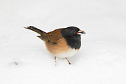 A dark-eyed junco (Junco hyemalis) in Oregon plumage feeds on a seed while standing in fresh snow in Snohomish County, Washington.