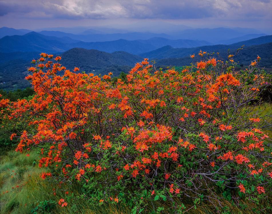 Flame azaleas & distant mountain views, Appalachian Trail views, Pisgah National Forest, NC