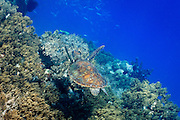 Green Turtle (Chelonia mydas) swimming over coral - Agincourt reef, Great Barrier Reef, Queensland, Australia. <br />