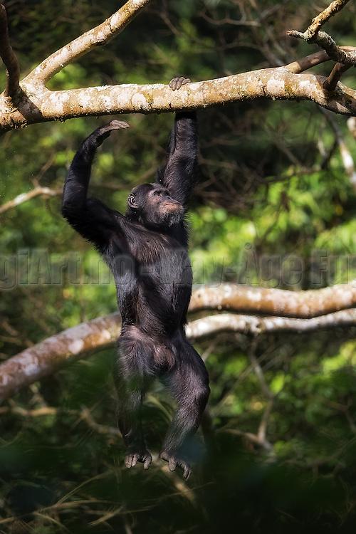 Chimpanzee swinging in a tree in Nyungwe, Rwanda | Sjimpanse som svinger seg i et tre i Nyungwe i Rwanda.