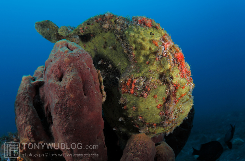 Yellow giant frogfish (Antennarius commerson) sitting on a dark red sponge in the Lembeh Strait, North Sulawesi, Indonesia