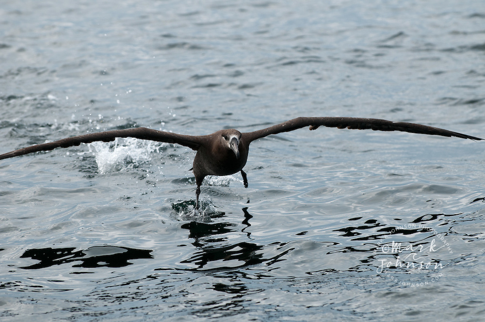 Albatross taking off from the sea, off the coast of Sitka, Alaska