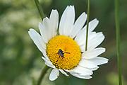 Nederland, Ooijpolder, 13-5-2020 Aan de dijk groeien mooie veldbloemen zoals boterbloemen en distels in deze lente . Een insect, zwarte bij, op een margriet .Foto: Flip Franssen