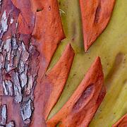 Detail of Madrona tree bark, Coast of California