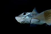 Close up of Ratfish / Ghost shark (Chimaera monstrosa) Trondheimsfjord, Trondheimsfjorden, Norway | Chimäre (Chimaera monstrosa)<br /> Seekatzen, Seedrachen, Geisterhaie, Spöken: Die volkstümlichen Namen der Chimären sagen bereits einiges über ihr rätselhaftes Wesen aus. Zusammen mit Haien und Rochen bilden sie die Klasse der Knorpelfische, deren Skelett nicht aus festem Knochen, sondern Knorpelgewebe besteht. Ihren Namen verdanken sie Carl von Linné, den die schuppenlosen Fische mit den großen reflektierenden Augen und dem langen Schwanz an griechische Fabelwesen erinnerte: die Chimären. Sie ziehen meist in kleineren Gruppen durchs Wasser und ernähren sich von bodenlebenden Tieren.<br /> Wassertiefe: 30 bis 1.000 Meter<br /> Körpergröße: 1 Meter