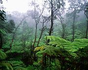 Rainforest, Hawaii Volcanoes National Park, Kilauea, Island of Hawaii