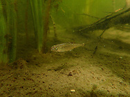Oregon Chub<br />