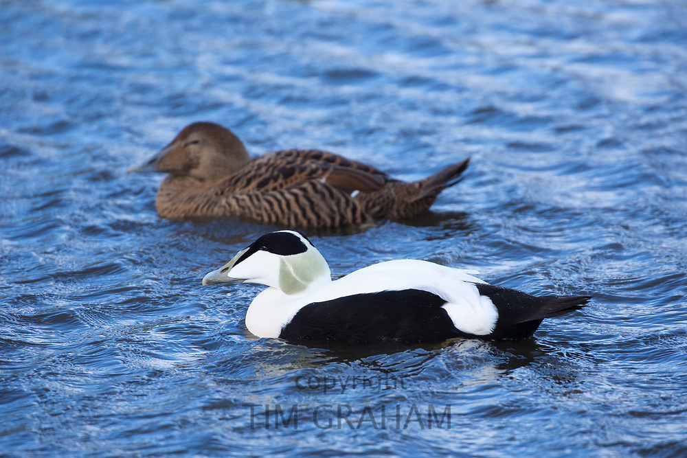Male in foreground and female Eider ducks - Somateria mollissima - on lake at Slimbridge Wildfowl and Wetlands Centre, England, UK