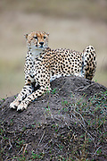 The cheetah ( Acinonyx jubatus ) is the fastest land animal reaching speeds between 112 and 120 km/h ( 70 -75 mph ) and has semi-retractable claws  ( known only in three other cat species ), Masai Mara, Kenya