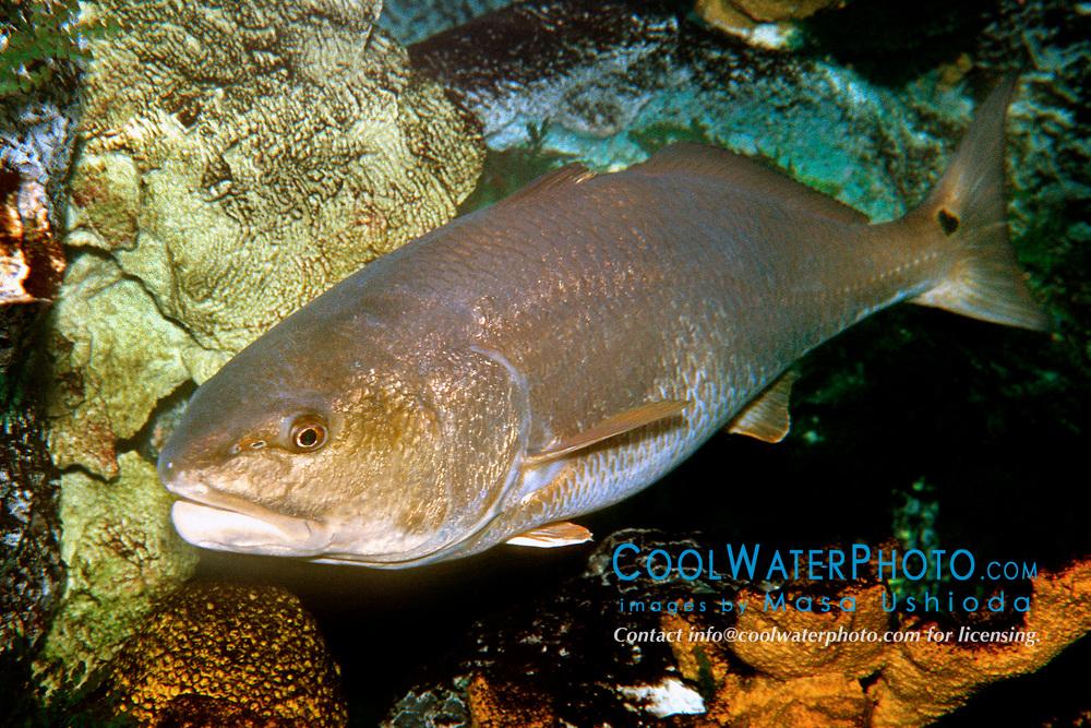 red drum or redfish (c), Sciaenops ocellatus, Islamorada, Florida, Atlantic Ocean