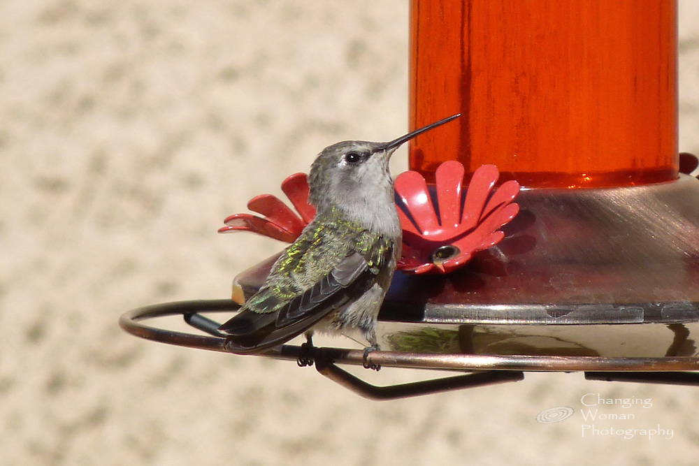 Female Costa's hummingbird perches at a hanging feeder's flower-shaped feeding station. Excellent profile image displays iridescent green and gold iridescent wing and tail feathers and a glistening black eye that appears to look directly at the viewer of this image.