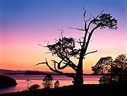 weathered juniper tree in sunset at Washinton Park, Anacortes, Washington, USA
