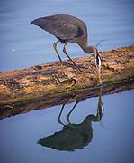 Heron at the Swinomish Channel in La Conner, Washington