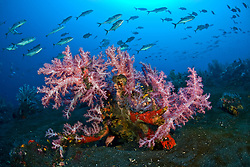 A school of Bigeye Trevally, Caranx sexfasciatus, swarm above lush growths of Soft Coral, Dendronepthya sp., surrounded by the dark volcanic substrate that is typical of many sites at Barren Island. Andaman Islands, India, Andaman Sea, Indian Ocean
