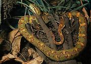 Eyelash Viper, Bothriechis schlegeli, adult, rainforest, jungle, snake, venemous, poisonous, arboreal,