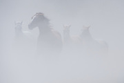 Ghostlike group of horses approaching through a thick cloud of dust in Grand Teton National Park.