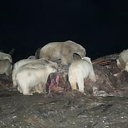 Polar bears (Ursus maritimus) feeding on the carcass of a bowhead whale.(Balaena mysticetus). Kaktovik, Alaska