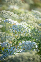 Ammi majus - Bishop's flower