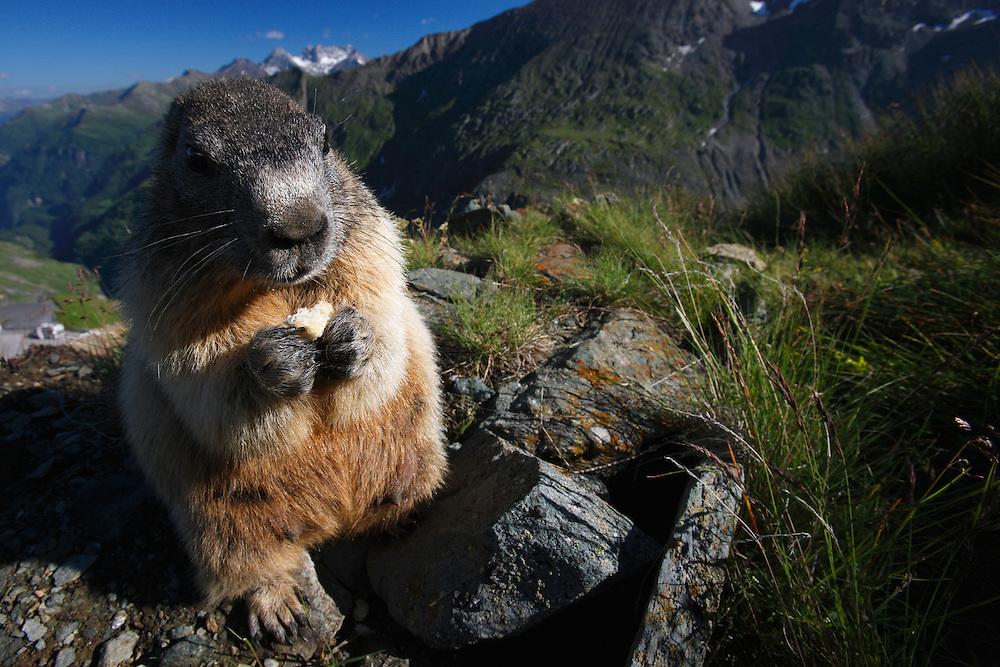 Alpine Marmot (Marmota marmota) portrait, Hohe Tauern National Park, Carinthia, Austria