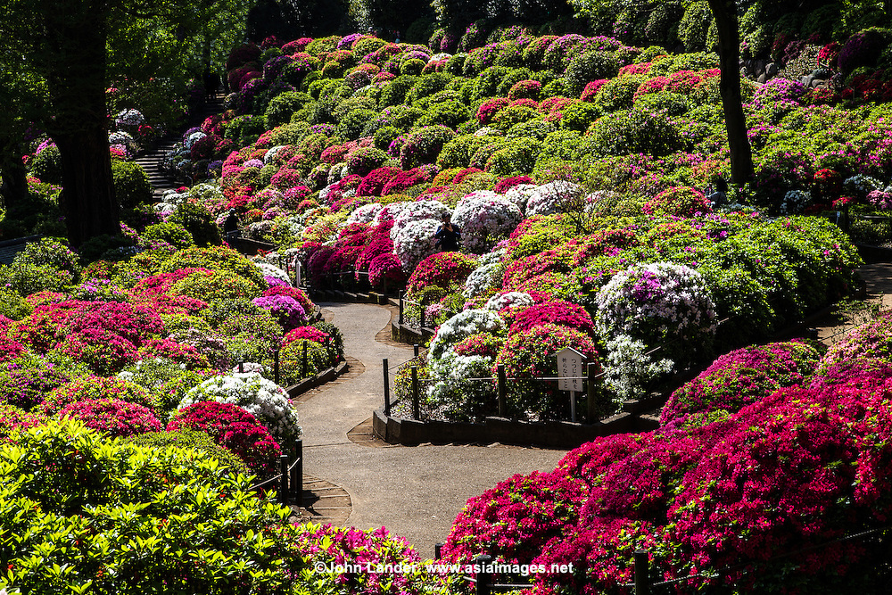 Nezu Shrine Azalea Garden - Nezu Shrine in Tokyo is without a doubt most famous for its unique undulating azalea garden built along hills and trails. It is planted with more than 3000 azaleas of over 100 species.  Next to the Azalea Garden or Tsutsumi Teien, pathways tunnel through hundreds of torii or shrine arches.  Nezu Shrine was established more than 1900 years ago and is one of Tokyo's most important and historic Shinto shrines.