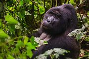 A non-habituated silverback mountain gorilla (Gorilla beringei beringei) sitting on the forest floor,Bwindi Impenetrable Forest, Uganda, Africa