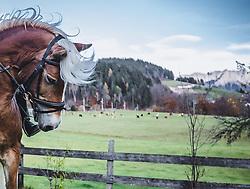 THEMENBILD - Der Kopf eines Haflinger vor einer Bergkulisse. Der Leonhardiritt ist eine Prozession zu Pferd, die zum Brauchtum im Österreich- Bayrischen- Raum zählt. Sie findet zu Ehren des hl. Leonhard statt, welcher Schutzpatron landwirtschaftlicher Tiere, Gefangener und Bergleute ist, aufgenommen am 06. November 2018, Leogang, Österreich // The Leonhardiritt is a procession by horse, which counts to the Tradition in Austria- Bavarian area. It is held in honor of St. Leonhard, which is the patron of agricultural animals, prisoners and miners on 2018/11/06, Leogang, Austria. EXPA Pictures © 2018, PhotoCredit: EXPA/ Stefanie Oberhauser
