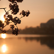 Sunrise at the cherry blossoms and Jefferson Memorial. The Yoshino Cherry Blossom trees lining the Tidal Basin in Washington DC bloom each early spring. Some of the original trees from the original planting 100 years ago (in 2012) are still alive and flowering. Because of heatwave conditions extending across much of the North American continent and an unusually warm winter in the Washington DC region, the 2012 peak bloom came earlier than usual.