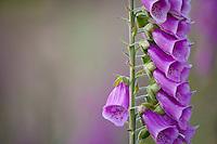 Foxglove flowers (Digitalis purpurea) a beautiful, invasive, poisonous wildflower - one floret points a different direction