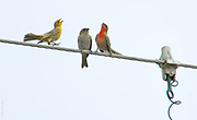 INDUSTRIAL ROMANCE   Yellow and red male house finches (Carpodacus mexicanus) dance to impress a bored teenage female that landed in their industrial neighborhood