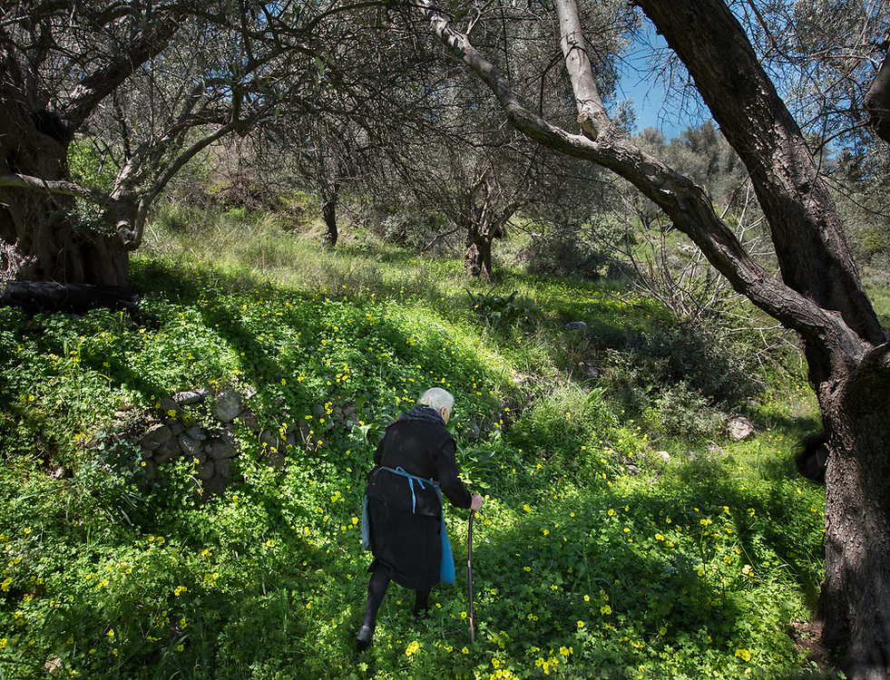 Vangelio Tsimbragou picking wild herbs to cook with. In and around Meronas village, Central Crete.