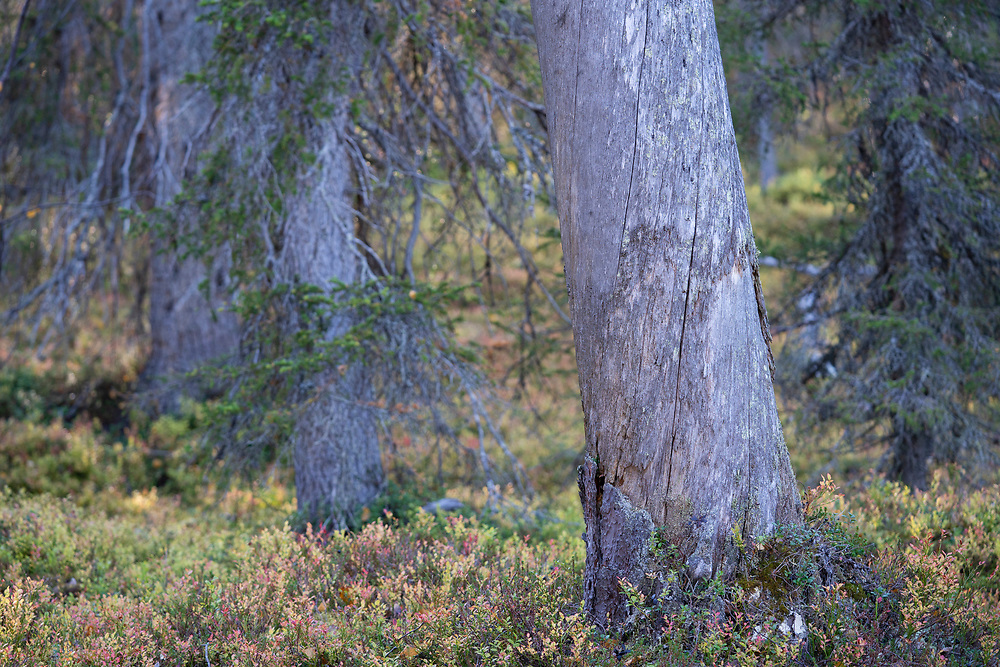 Standing dead tree. This can stand for several 100 years... Old-growth pine forest, Muddus National Park, Laponia Unesco World Heritage Site, Norrbotten, Lapland, Sweden