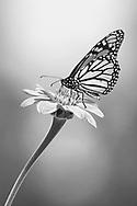 A Monarch Butterfly On A Flower, Danaus plexippus