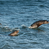 """Young Southern Fur Seals """"porpoise"""" along a beach by Stromness Bay, South Georgia, Antarctica."""