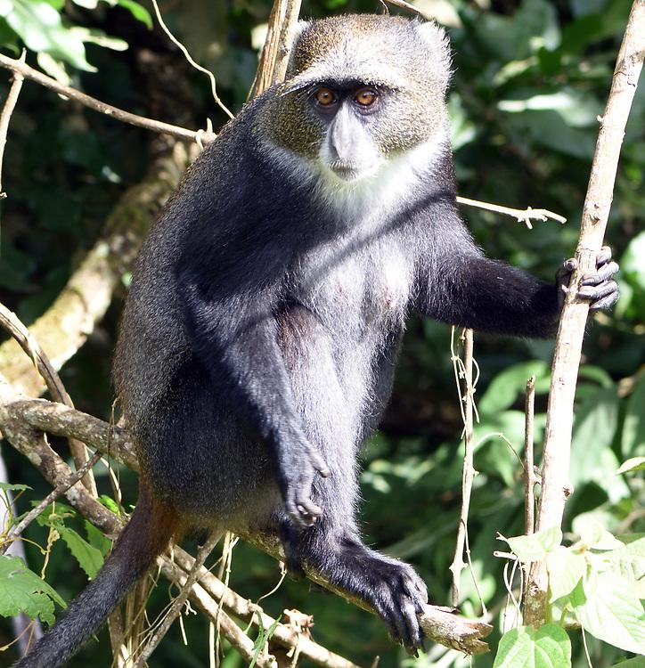 A Sykes' monkey (Cercopithecus albogularis) foraging for leaves. Arusha National Park. Arusha, Tanzania.