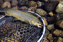 Big Brown Trout up for a visit from the depths of the South Fork of the Snake River in Swan Valley Idaho. The South Fork has many nice trout like this one because of the catch and release ethic many fly-fisherman exersize today.