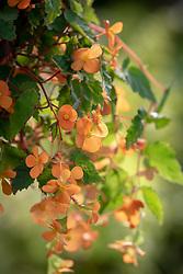 Begonia sutherlandii AGM