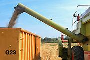 Nederland, Ubbergen, 18-8-2016Een veld met tarwe, graan . Tarweveld,graanveld.Close-up, Detail,stengel,stengels,graanstengelsFoto: Flip Franssen
