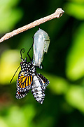 The monarch emerges with shriveled wings and a squat, puffy body.
