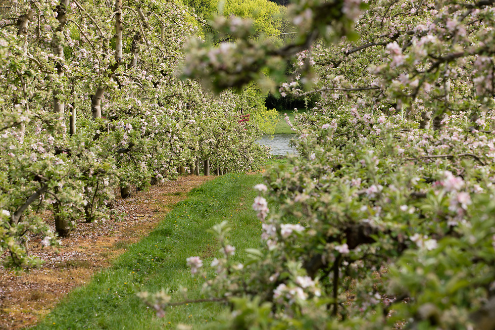 Apple blossoms with apple trees in the background