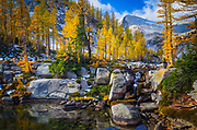 Larch trees, or tamaracks, in the Enchantment Lakes area of the Alpine Lakes Wilderness, Washington